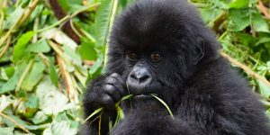 3 Days Rwanda Gorillas & Golden Monkey Trek