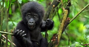 4 Days Gorilla trekking Safari to Volcanoes National Park