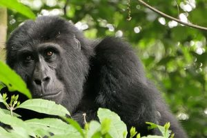 6 Days Congo Classic Gorilla Safari-Kahuzi Biega & Virunga National Park