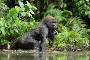 3 Days Congo Low Land Gorilla Tour