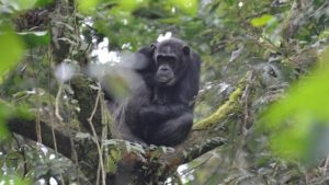 Chimpanzee trekking in Nyungwe Forest National Park