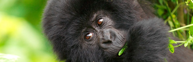 Gorilla Safari tours Congo