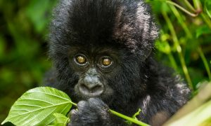 7 Days Uganda Primate Safari Tour