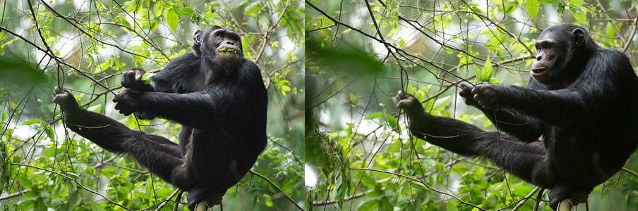 chimp-trekking-Kyamudongo-forest