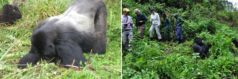 gorilla-trekking-in-the-virunga