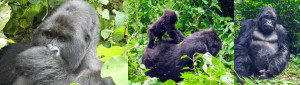 gorillas-in-virunga-congo