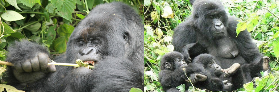 gorillas-in-virungas-congo