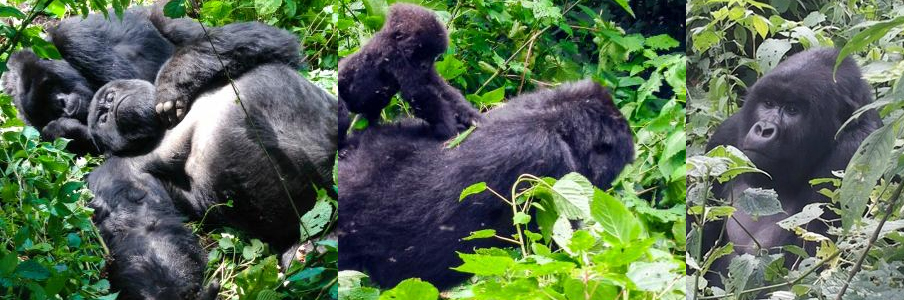 gorillas-resting-in-the-virungas