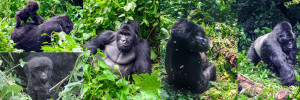 gorillas-virunga-national-park-congo