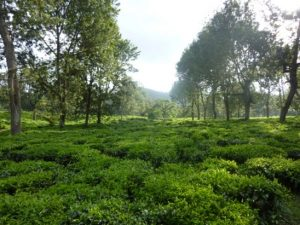 tea plantations of Mbayo