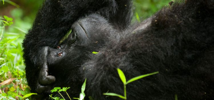 Plan a memorable Gorilla Trekking Safari in Africa