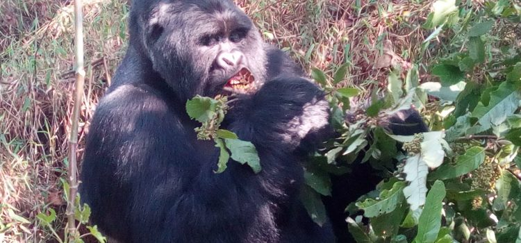 WHY YOU SHOULD CHOOSE TRACKING GORILLAS IN UGANDA