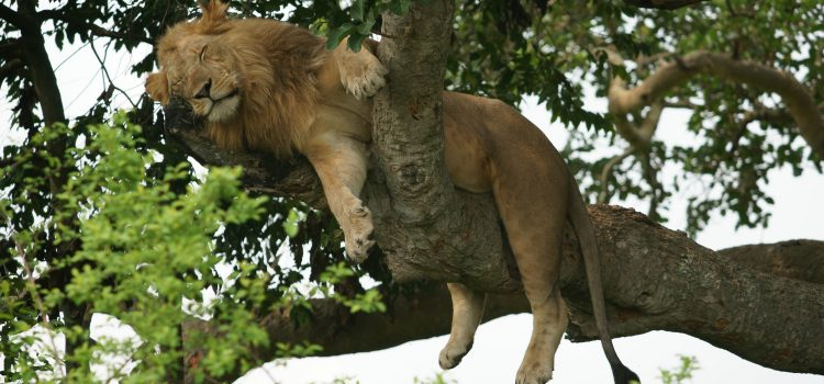 TREE CLIMBING LIONS OF ISHASHA – UGANDA IS MORE THAN JUST THE GORILLAS