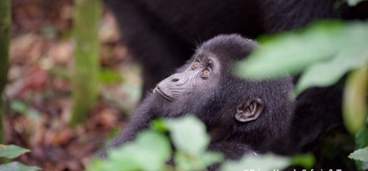 HERE IS YOUR BEST TIME TO SEE MOUNTAIN GORILLAS IN UGANDA