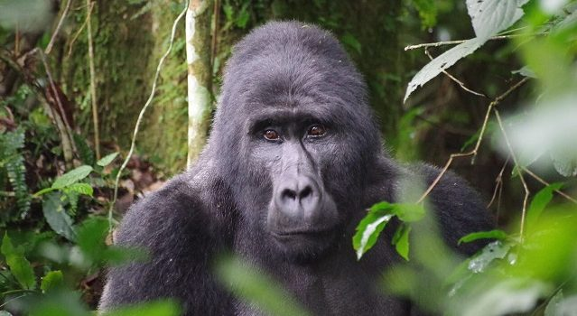 Uganda Gorilla-viewing Tourism Facts
