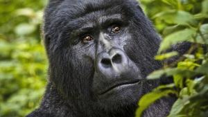 4 Days Gorilla Safari in Uganda Rwanda