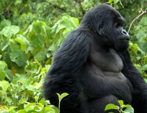 Importance of mountain gorillas to the community! -Uganda safari News