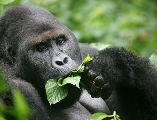 Be amazed with Uganda's shortest gorilla safari tour! – Uganda safari News