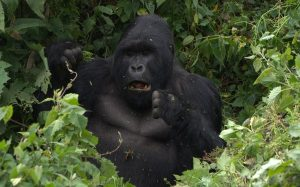 Mountain Gorillas Trekking