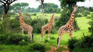 giraffes in kidepo valley