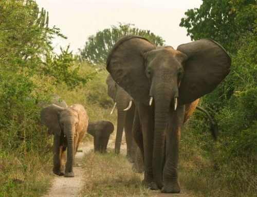 1 Day Murchison Falls Safari in Uganda /1 Day Uganda Safari in Murchison Falls National Park- Uganda Safari News