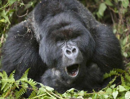 Reasons why gorillas are called endangered animals! -Uganda Safari News