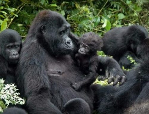 Why gorillas have the best way of life in the wild – Uganda safari News