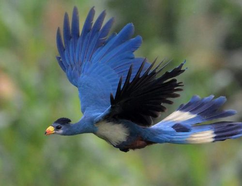 4 Days Uganda Birding Safari in Semuliki and Wildlife / 4 Days Semuliki Birding Safari with Queen Elizabeth Wildlife