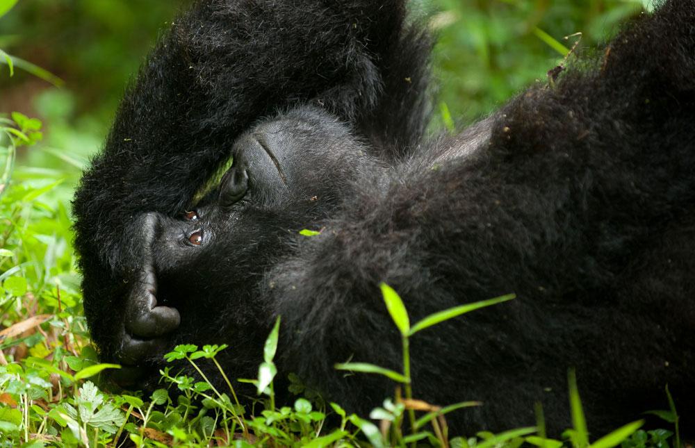 Gorilla Safari tours in Uganda Rwanda
