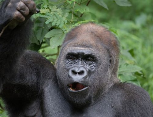 Did you know gorillas are Musical? -Uganda Safari News