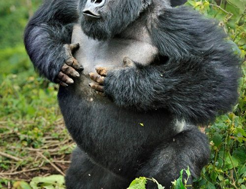 Reasons why you are assured to see mountain gorillas on your Uganda gorilla safari – Uganda safari News