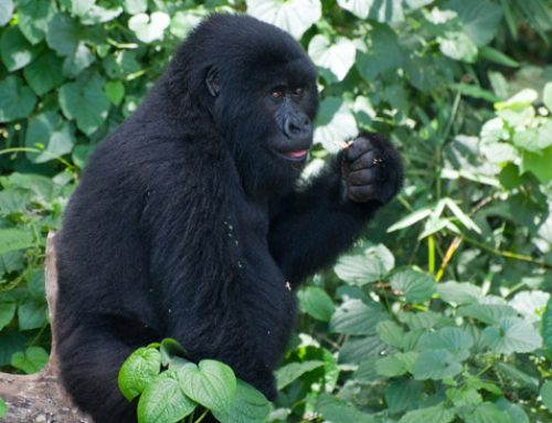 Why can't Mountain Gorillas survive for long in captivity? -Uganda Safari News