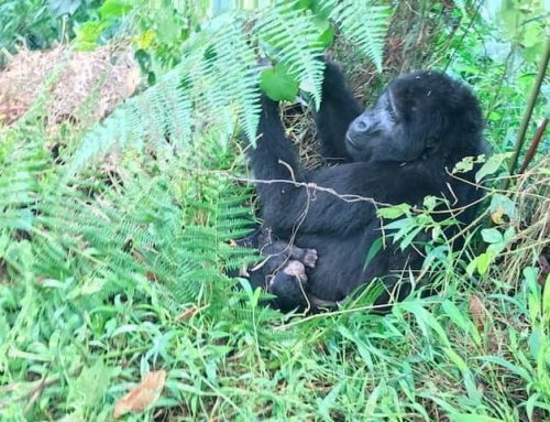 A New Baby Gorilla Is Born!!! Its All Joy for Uganda Gorilla Safari Goers As Well As Mubare Gorilla Family Welcomes- Uganda Safari News